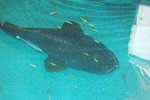 dot fish